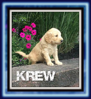 Krew Male Goldendoodle $1950