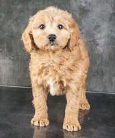 Sasha Female F1B Goldendoodle $2500