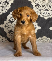 female goldendoodle puppy for sale near me akron canton cleveland columbus