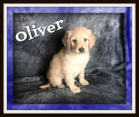 Oliver Male F1 Goldendoodle $2000