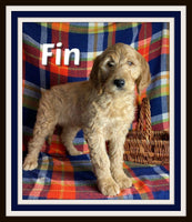 Fin Male Goldendoodle $950