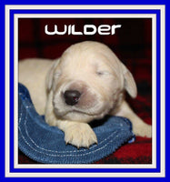 Wilder Male AKC Golden Retriever $1650