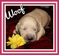 Woof Female AKC Golden Retriever $1650