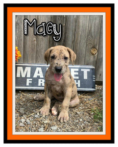 Macy Female AKC Great Dane $1600