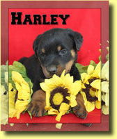 Harley AKC Male Rottweiler $1199