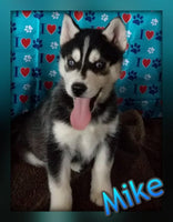 Mike: Male Siberian Husky (Full Price $750) Deposit