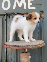Polly Female ICA Papillon $1450