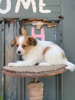 female papillon for sale near me in ohio