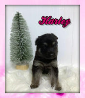 Harley Female AKC German Shepherd $2600