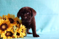 Maxwell Male AKC Chocolate Labrador $395