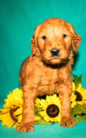 Carter Male Goldendoodle $400