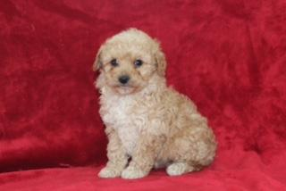 Sammy Male Mini Aussiepoo $599