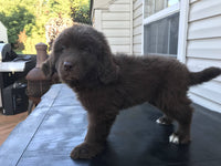 Shadow Female Newfoundland (Full Price $600.00) Deposit