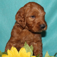 Logan female Goldendoodle $475