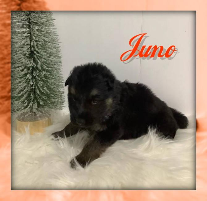 Juno Female AKC German Shepherd $2600