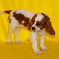 King Charles Cavalier in Ohio