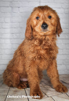 Red Rover Male Mini Goldendoodle $1600