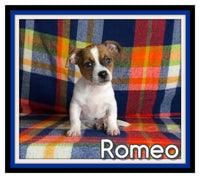 Romeo Male Jack Russell Mix $800