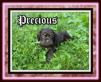 Precious Female ACA Cocker Spaniel $2400