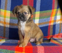Troy Male Jack Russell Mix $800