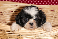 James Male ACA Shihtzu $525