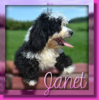 Janet Female Mini Bernedoodle $800