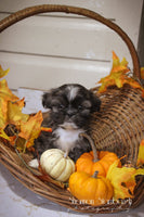 Jerry: Male ACA Shihtzu (Full Price $675) Deposit