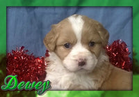 Dewey Male Aussiepoo ( Full Price $1195 ) Deposit