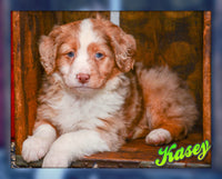 Kasey: Male Australian Shepherd Mix (Full Price $ 599.00) Deposit