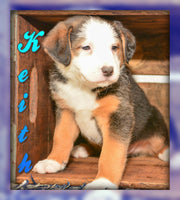 Keith: Male Australian Shepherd Mix (Full Price $ 599.00) Deposit