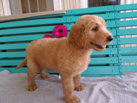 Kenny: Male F1 Goldendoodle (Full Price $950.00) Deposit - Pups for sale in Ohio