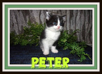 Peter Male Short Hair Kitten $200