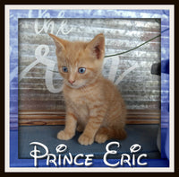Prince Eric Male Short Hair Kitten $225