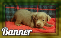 Banner Male Silver Labrador Retriever $900