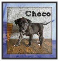 Choco Male Lab Mix $750