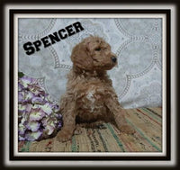 Spencer Male F1B Labradoodle $1400