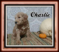 Charlie Male F1B Labradoodle $1400