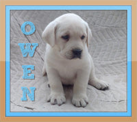 Owen Male Polor White LIMIT Registered AKC Labrador Retriever $850