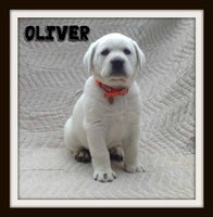 Oliver Male Polor White LIMIT Registered Labrador Retriever $1000