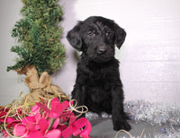 Maverick Male Labradoodle (Full Price $750) Deposit