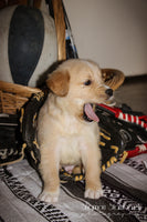 Lindor: Male AKC Golden Retriever (Full Price $650.00) Deposit