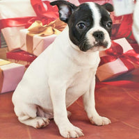 Frenchton puppy for sale in Ohio