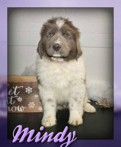Mindy Female AKC Newfoundland $699