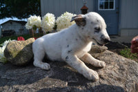 Blue Heeler mix puppy for sale near me akron