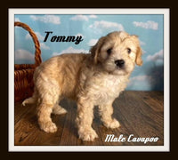 male cavapoo for sale near me