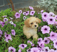 cavapoo puppies for sale near me cleveland