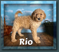 Rio Male FB1 Mini Goldendoodle $975