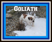 Goliath Male 1/4 Beagle 3/4 English Bulldog Mix $700