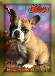 male frenchton puppy
