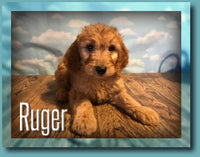 Ruger Male F1 Goldendoodle $799